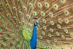 Peacock. With beautiful feathers uncool Royalty Free Stock Photos
