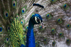 Peacock. Beautiful peacock with a long neck Stock Photography