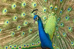 Peacock. Beautiful male peacock with feathers out Stock Photography