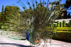 Peacock5 stock photo
