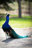 Peacock. Beautiful male peacock lying on green lawn atracting female Royalty Free Stock Photo