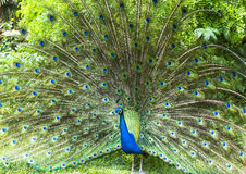 Is the peacock beautiful peacock. The field is the peacock beautiful peacock Stock Photo