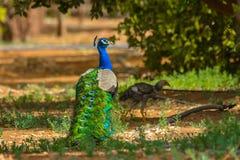 Peacock. Beautiful peacock in Saudi arabia stock photos