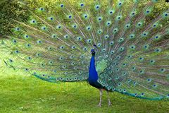 Peacock. Beautiful peacock showing off his tail Stock Image
