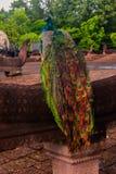 Peacock. Beautiful peacock in Thailand Stock Image