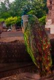 Peacock. Beautiful peacock in thailand Stock Photo