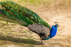 Peacock with a beautiful wings stock photo