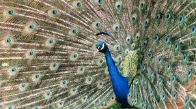 Peacock Beauty Stock Image