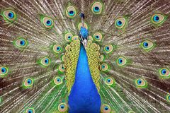 Peacock Beauty Pavo Cristatus with Outstretched Wings. Portrait royalty free stock images