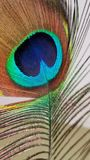 Peacock beauty. Colors, feather, animal royalty free stock photo