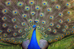 Peacock beginning to display its feathers Stock Photo