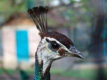 A peacock. At Belgrade zoo Royalty Free Stock Image