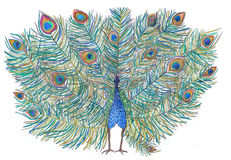 peacock bella coda Disegnato con le matite colorate illustrazione di stock