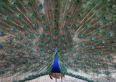 Peacock bird Stock Photography