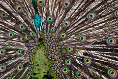 Peacock bird Stock Image