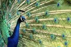 Peacock bird Royalty Free Stock Images