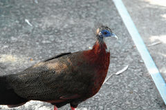 Peacock Bird Royalty Free Stock Photo