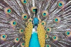 Peacock bird close up portrait Stock Images