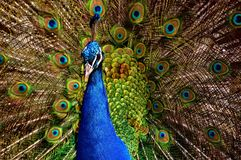 Peacock, Bird, Colorful, Poultry Royalty Free Stock Image