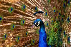 Peacock, Bird, Colorful, Poultry Stock Photo