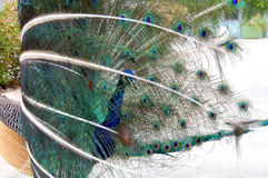Peacock bird dance Stock Photography