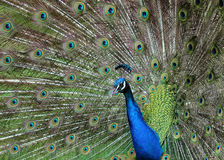 Peacock bird detail Royalty Free Stock Photo