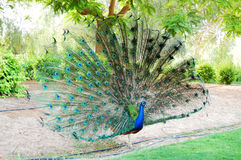The peacock bird is near residence of Sheikh Royalty Free Stock Photos