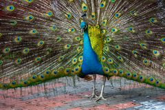 Peacock in the bird park Royalty Free Stock Image