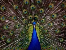 Peacock, Bird, Plumage, Display Stock Image