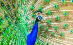 Peacock, Bird, Plumage, Exotic Royalty Free Stock Photos