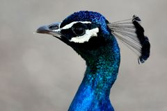 Peacock Bird Portrait Stock Photo