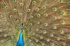 A peacock bird in Santa Cruz. A peacock bird shows its beautiful feathers in the city of Santa Cruz, Bolivia stock images