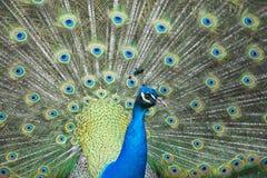 Peacock bird wonderful feather open wheel portrait Stock Photo