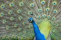 Peacock bird wonderful feather open wheel portrait Stock Image