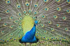 Peacock bird wonderful feather open wheel portrait Royalty Free Stock Photo
