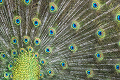 Peacock bird wonderful feather open wheel portrait Stock Photography