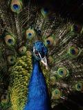 Peacock birds. Male. Closeup shot stock photo