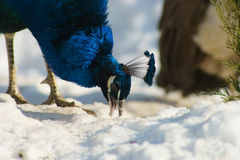 Peacock biting the snow. Peacock on the snow in winter Stock Photography