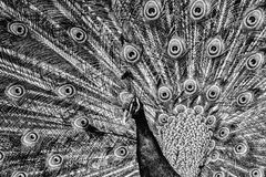 Peacock. Black and white photo of peacock stock image