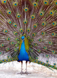 Peacock in Bloom Stock Photography