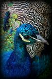 Peacock Blue. Close up of male peacock showing deep blue chest and part of extended tail Royalty Free Stock Photo