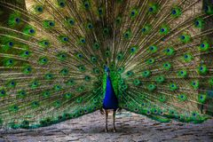 Peacock blue and green stock image