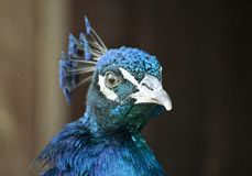 Peacock blue iridescent head Royalty Free Stock Photo