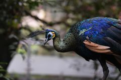 Peacock with a blue-patterned head stock photo
