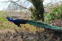 Peacock. A blue peacock walking along the top of a stone wall with his tail displayed behind him Stock Image