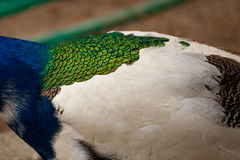 Peacock. Blue, white and green Stock Photography