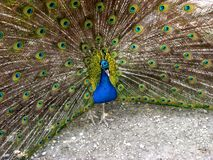 Peacock brags about the beauty of his tail