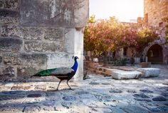 Peacock in Bodrum Castle Stock Image