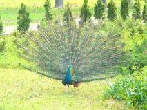 Peacock in the Botanical garden. Royalty Free Stock Photo