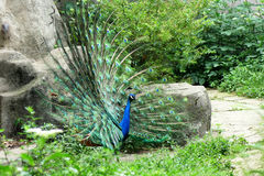 A peacock Stock Photography